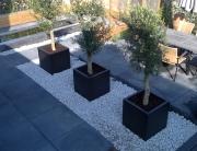 Olijfbomen in pot moderne tuin
