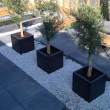 Olijfbomen moderne tuin
